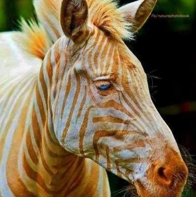 """""""Zoe"""" Rare White Zebra"""